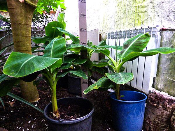 Саженец банана тропикана