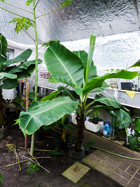 Большой банан растение