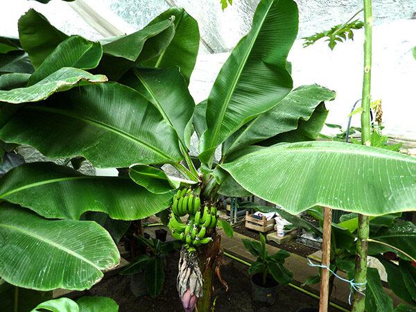 Банановое дерево с бананами