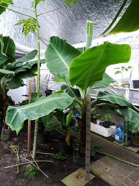 Банан для зимнего сада