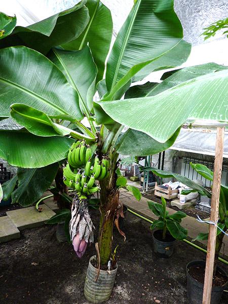Большая банановая пальма