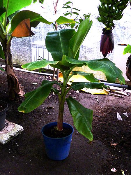Саженец банан