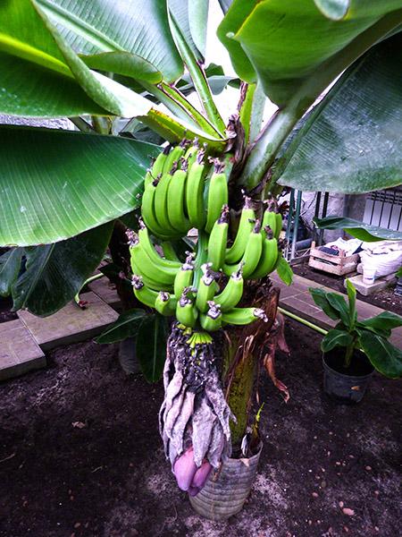Растение банан с плодами