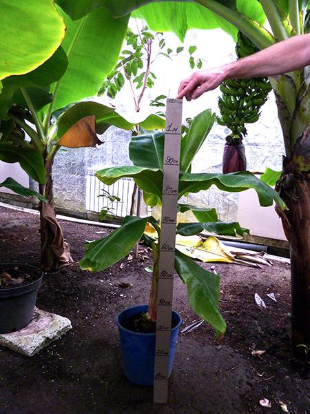 Банановая пальма для дома